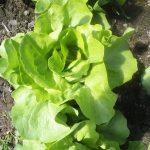 Salata verde, leguma cea mai contaminată cu pesticide