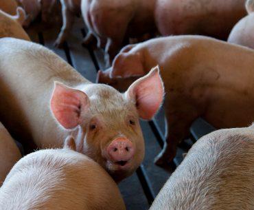 Alertă: carcasele de porc în România au ajuns în premieră cele mai scumpe din Uniunea Europeană