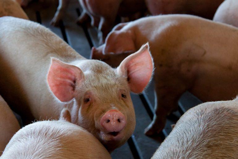Numărul focarelor de pestă porcină africană crește vertiginos, după ce raporatele ANSVSA din intervalul mai-iunie au indicat regresul epidemiei