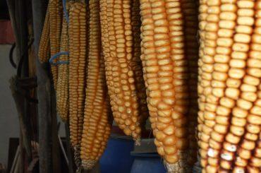 Un tânăr fermier din județul Mureș pariază în fiecare an pe cultura de porumb