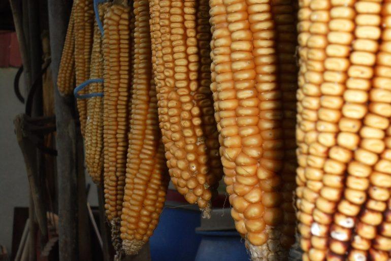 Mexicul renunță la producția și importul de porumb modificat genetic; marii fermieri protestează, micii fermieri certificați ecologic salută decizia
