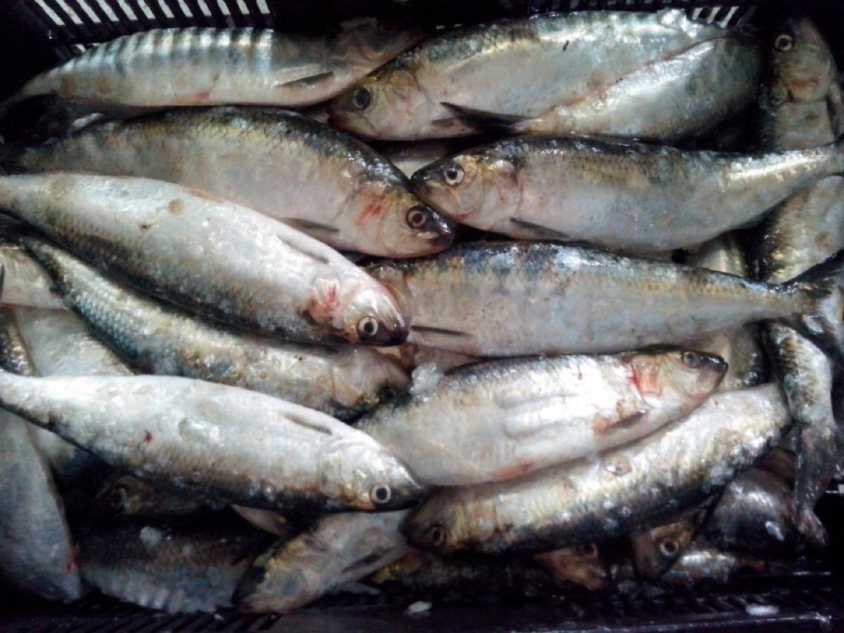 """Bursa de pește on line, tutelată de Casa Română de Comerț """"Unirea"""", este inactivă: 0 cumpărători pentru toate speciile de pești scoase la vânzare"""
