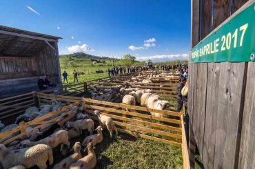 Laptele de oaie obținut la stânile din comuna sibiană Vurpăr este procesat într-o fabrică din Horezu, iar brânza fermentată ajunge în hypermarketurile din țară și din alte state europene