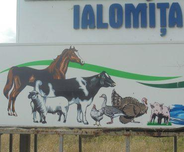 Lantulalimentar.ro în județul Ialomița: pentru combaterea pestei porcine africane, autoritățile sanitar-veterinare au omorât toți porcii din comuna Sărățeni