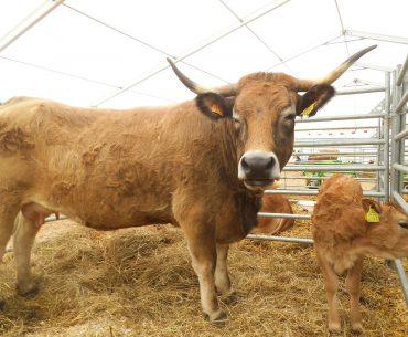 Ajutorul de stat pentru crescătorii de bovine: intră în joc medicul veterinar concesionar!