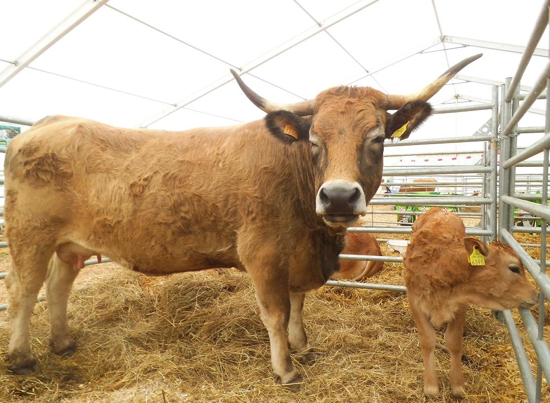 Vacile italienilor au ajuns mai ieftine la poarta abatorului decât cele din România; polonezii se confruntă cu scăderi de prețuri la toate categoriile de bovine, raportat la același interval de timp din 2018