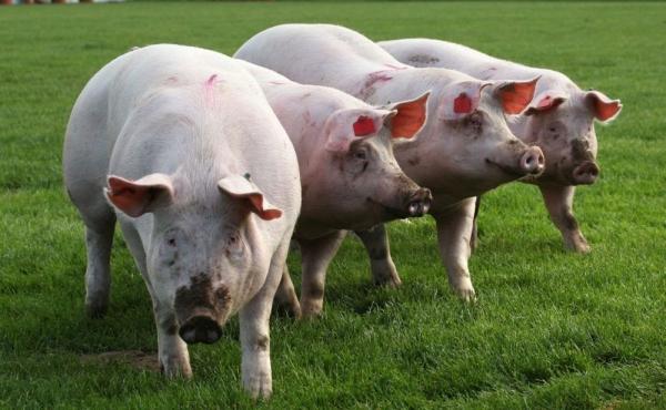 Alertă: Prețul mediu al porcilor în România a ajuns la cel mai înalt nivel din ultimii cinci ani