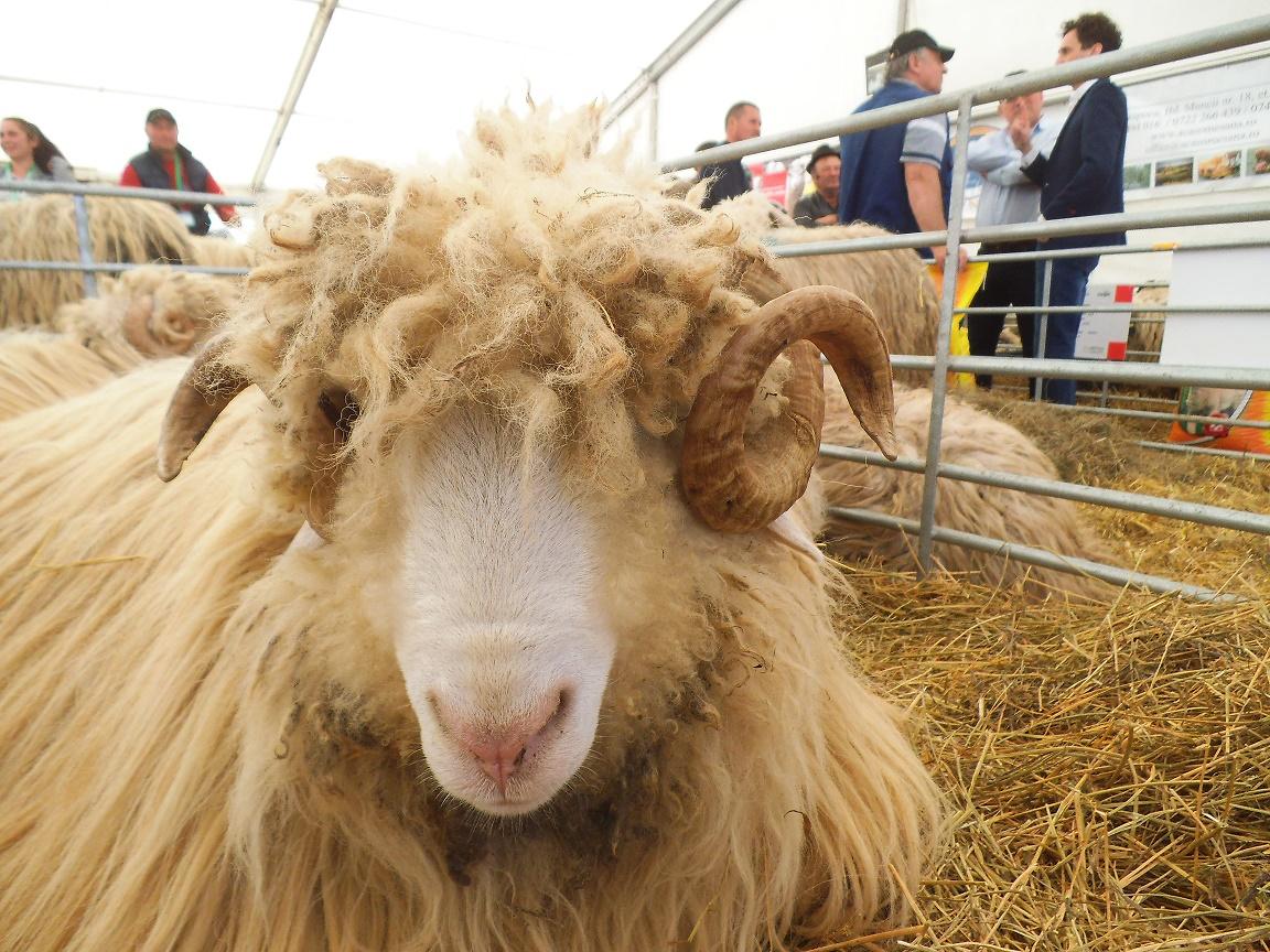 Noua lege pentru transportul animalelor în afara UE: oile trebuie tunse înaintea călătoriilor care se desfăşoară la temperaturi de peste 30 grade Celsius