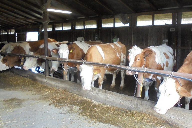 Sectorul creșterii vacilor de lapte moare, dar nu se predă! România, pe locul șapte în Uniunea Europeană în clasamentul creșterii cantităților de lapte crud colectat în iunie 2020 față de iunie 2019