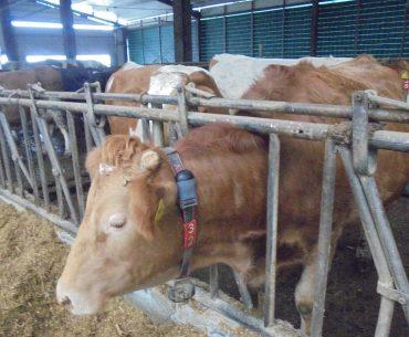 """Sunt vacile europenilor """"pline de antibiotice și hormoni""""? Ce date se regăsesc în cel mai recent raport al EFSA"""