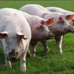 50.000 de porci din județul Satu Mare, blocați în ferme din cauza Pestei Porcine Africane
