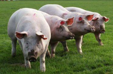 Statele Unite, gata să vândă chinezilor carne de porc fără ractopamină, un aditiv de creștere; în Uniunea Europeană, ractopamina este interzisă