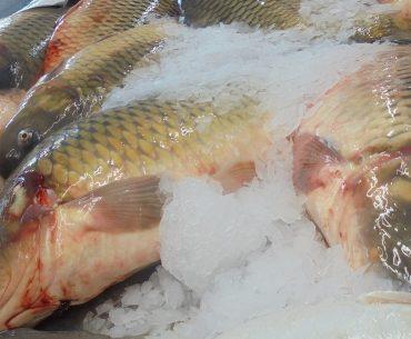 Obiceiuri alimentare: românii preferă macroul, crapul și heringul; consumul de pește este caracteristic mai degrabă adulților, decât celor tineri