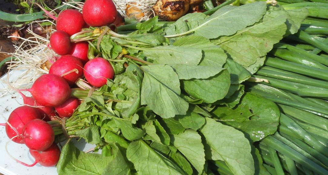 Legumicultorii din Apahida, reuniți în Cooperativa Agricolă Lunca Someșului Mic, vând ceapa verde și ridichiile unui mare retailer; banii europeni i-au ajutat pe mulți dintre ei să cumpere utilaje și să-și modernizeze ferma
