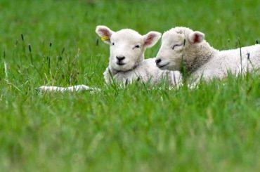 Oieritul din România, afectat de covid 19! Partenerii comerciali ai crescătorilor de oi din comuna Vurpăr, județul Sibiu, oferă pentru miei prețuri descurajante sau ezită să trimită camioanele la ferme