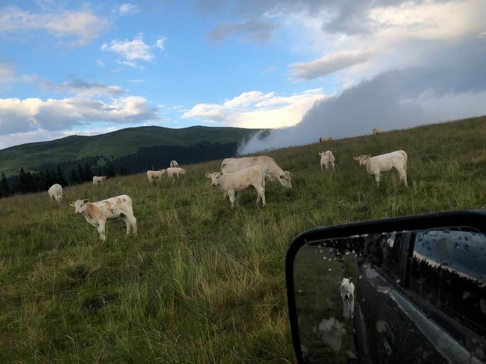 """Dumitru Grigorean, președintele ACBCR: """"Produșii obținuți din montă cu tauri metiși vor avea carnea tare, câlțoasă"""""""