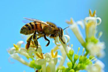 """Raport EFSA: neonicotinoidele, depistate frecvent în miere; Academia de Studii Agricole și Silvice susține că în România reziduurile prezente în flori și miere sunt """"nesemnificative"""""""