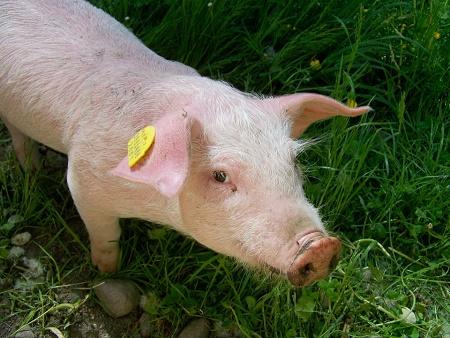 Bani de la guvern pentru sectorul creșterii suinelor: 33,33 euro pentru porcul gras și 50 de euro pentru animalele de reproducție ( scroafe și scrofițe ); beneficiarii eligibili și condițiile de primire a ajutorului financiar