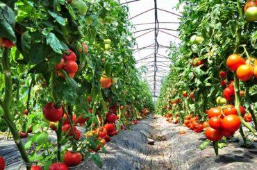 Roșiile și ardeii în pericol: Comisia Europeană a decis să intensifice controalele pentru a combate propagarea virusului fructelor brun rugozate de tomate ( ToBRFV )