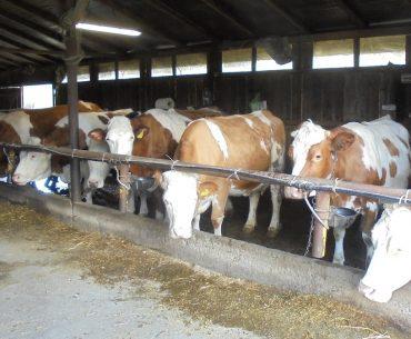 Piața laptelui de vacă: în septembrie, cea mai mare scădere a prețului mediu , în timp ce în majoritatea țărilor europene prețul a crescut; ce cantitate de lapte ajunge la procesatori