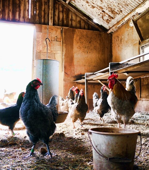 Statele europene și-au sporit producția de carne de pasăre în ultimii ani; România, pe locul șapte în topul marilor producători