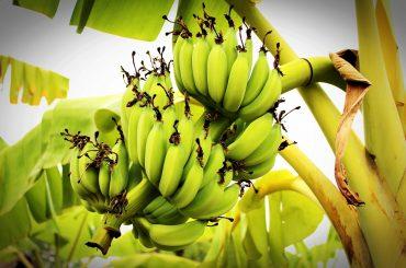 De ce bananele din India, cel mai mare producător la nivel mondial, nu ajung în Europa; piața europeană, aprovizionată cu banane din America Latină