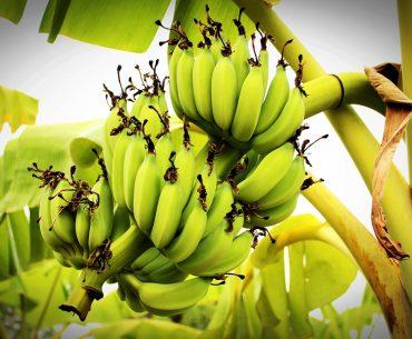 Piața bananelor: europenii au crescut consumul cu peste un milion de tone în ultimii zece ani