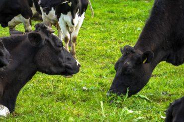 Laptele și irlandezii: tinerilor le place laptele, dar cred că fermierii din țara lor nu prea respectă bunele practici: protecția mediului înconjurător și bunăstarea animalelor; ce răspuns au dat crescătorii de vaci
