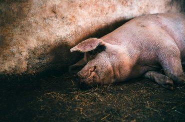 Toate au un preț pe lumea asta: porcul iberic ajunge pe mesele chinezilor, iar tehnologia 5G implementată de Huawei ajunge la utilizatorii spanioli