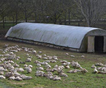 Din cauza gripei aviare, Franța decide sacrificarea a 600.000 de rațe; producția de foie gras puternic afectată; epidemia a ajuns și pe teritoriul Ungariei