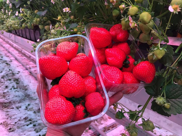 Olandezii produc căpșune în sere iluminate artificial și iau în calcul recoltarea acestora cu ajutorul roboților