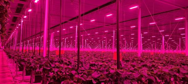 Polonezii ne-au luat-o înainte: au înființat prima seră de tomate cu sursă de lumină de tip LED din Estul Europei