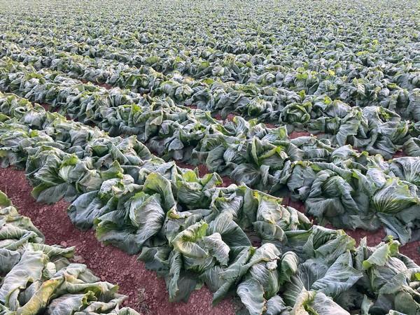 Dezastru în Spania: înghețul puternic a distrus jumătate din culturile de legume, punând sub semnul întrebării livrările către piața britanică