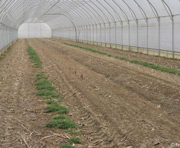 Minunea legumiculturii: un italian folosește apa caldă circulată subteran ca să poată recolta sparanghelul mult mai timpuriu