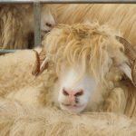 Piața animalelor vii: organizațiile pentru protecția animalelor promoveză idei fanteziste, iar asociațiile fermierilor vehiculează teorii ale conspirației; importă țările musulmane și animale abatorizate?