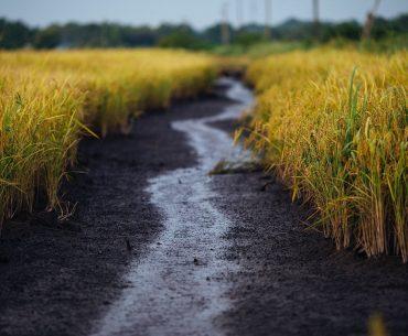 O eurodeputată din Italia acuză că importurile de orez din Myanmar afectează producătorii italieni; datele statistice oficiale o contrazic