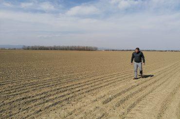 Un fermier buzoian a dat lovitura cu usturoiul românesc: cultivă un soi nou, numit Benone, după numele celebrului interpret de muzică populară, Benone Sinulescu