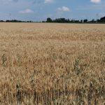 Agricultura bio câștigă teren: suprafața totală a depășit 450.000 de ha, cea mai mare din ultima decadă; cerealele și pășunile permanente, în top