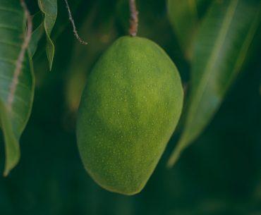 Încălzirea climei îi determină pe fermierii din sudul Europei să cultive specii tropicale și subtropicale; culturile de papaya și mango devin obșinuite în peisajul agricol din zonele mediteraneene