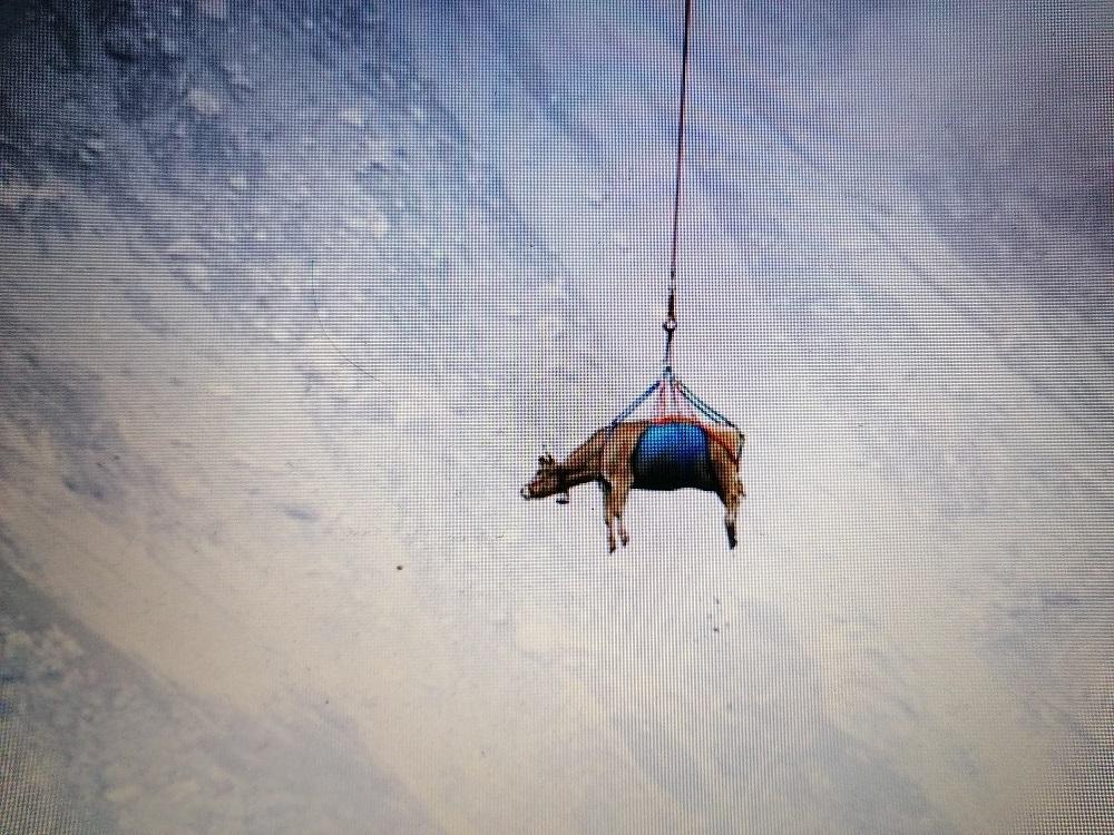 Imagini spectaculoase: vaci transportate cu elicopterul de pe pășunile din Munții Alpi
