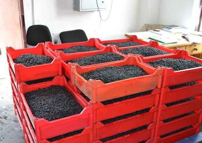 Sute de tone de afine de pădure din Munții Apuseni sunt culese de localnici și vândute de silvicultori unor clienți din Germania