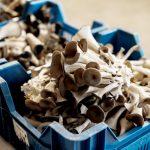 Ciuperci cultivate în beciurile din Bruxelles; metoda este una originală, iar producătorii organizează ateliere pentru cei dornici să o aplice