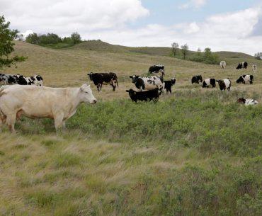 Din cauza secetei extreme, văcarii din America de Nord își vând animalele pe capete